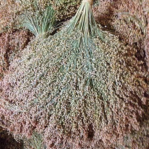 Rispenhirse aus deutschem Anbau