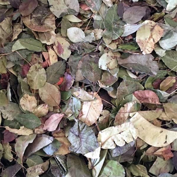 Birnbaumblätter getrocknet